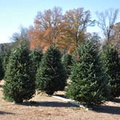 christmastrees2